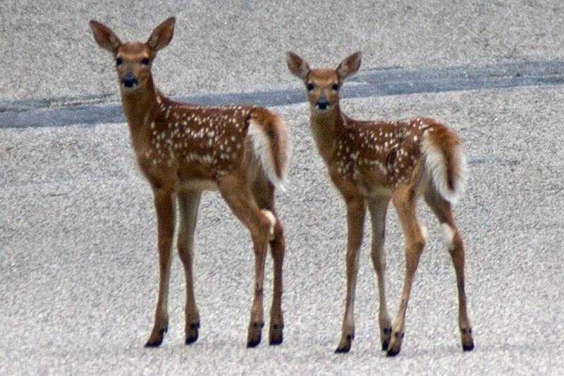 Wisconsin Fawns