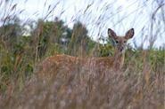 Wisconsin Whitetail Deer