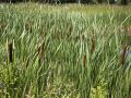 Photo of Cattails