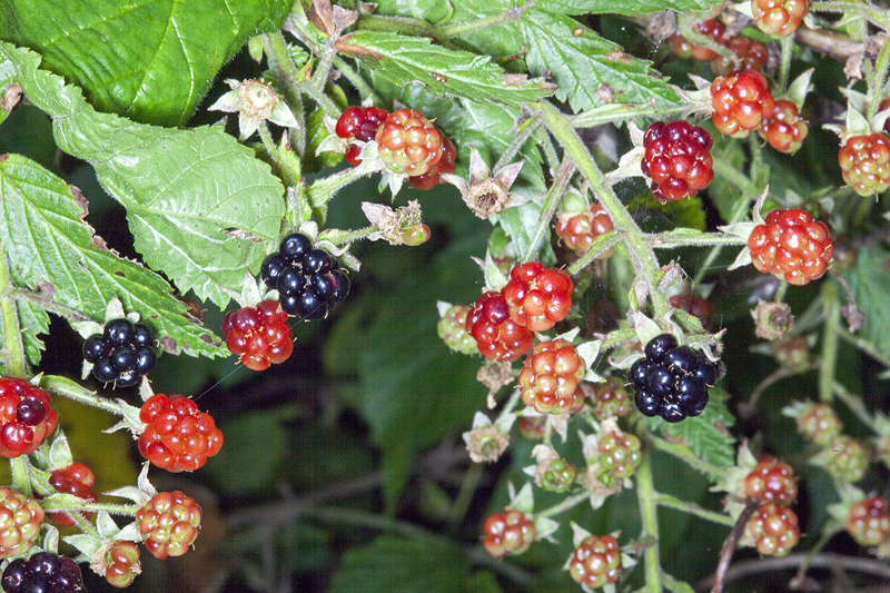Wild Wisconsin Berries