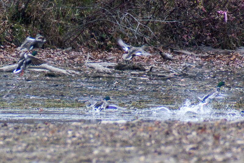 Mallard Ducks by Creek - Waterfowl