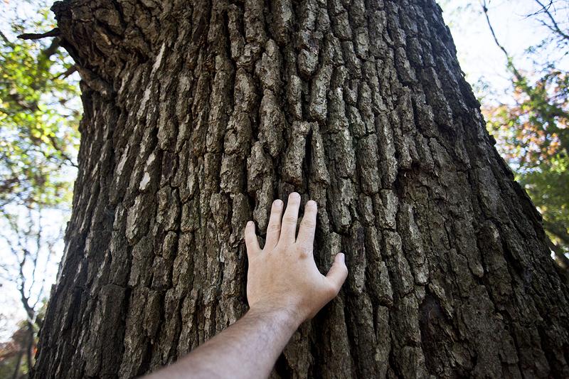 HUGE Oak Trees