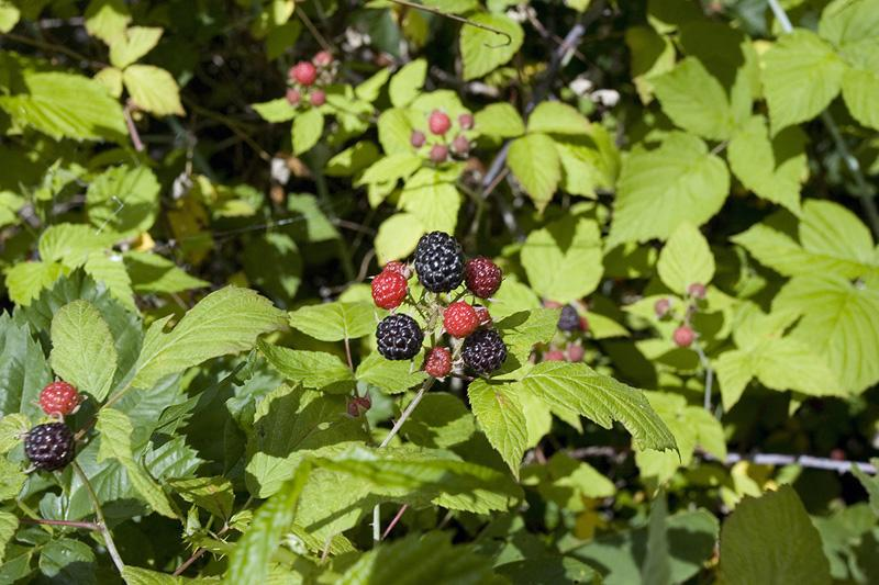 Pick A Lifetime's Worth Of Wildberries